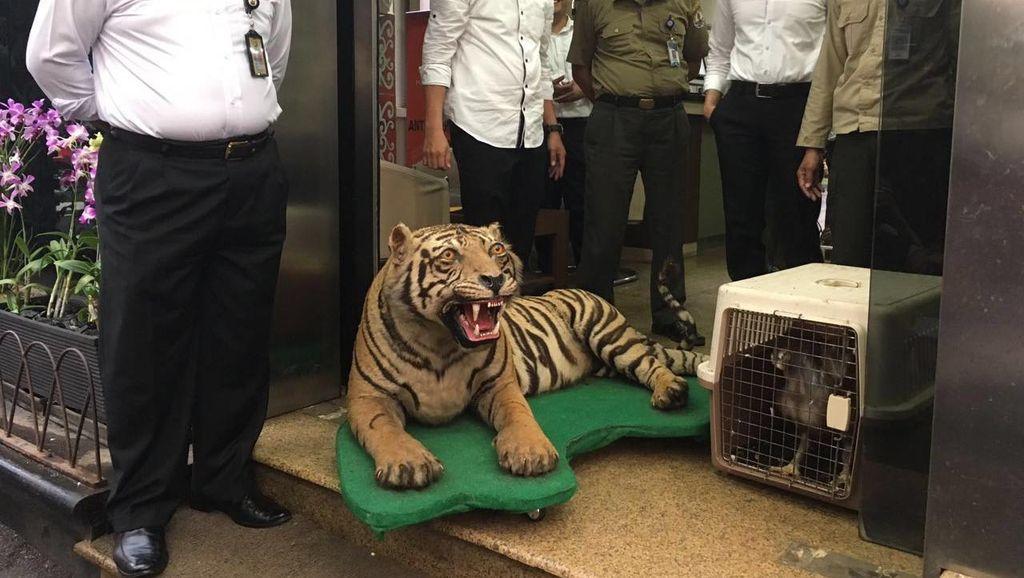 Harimau yang Diawetkan dan Elang Jawa Milik Gatot Brajamusti Diserahkan ke BKSDA