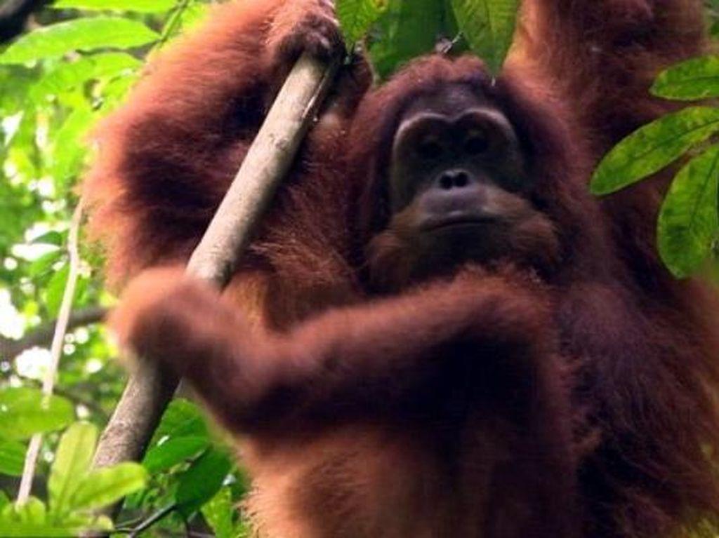 Akhirnya, Orangutan Kebun Binatang Perth 'Pulang' ke Hutan Indonesia