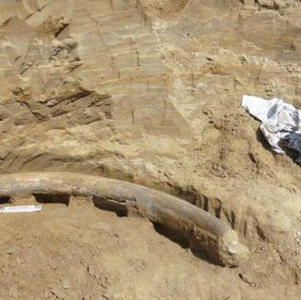 Fosil Gading Gajah Berusia Jutaan Tahun Ditemukan di Austria