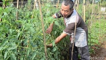Petani Ini Ciptakan Pupuk Organik, Raup Omzet Ratusan Juta Rupiah