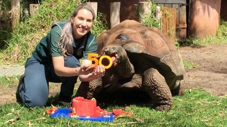 Cerro Si Kura-kura Raksasa di Perth Zoo Rayakan HUT ke-50