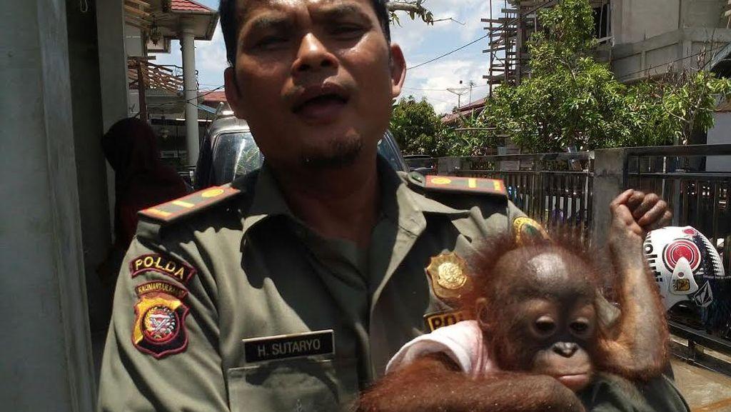 Buaya Muara dan Orangutan ini Diselamatkan Petugas BKSDA dari Tangan Warga