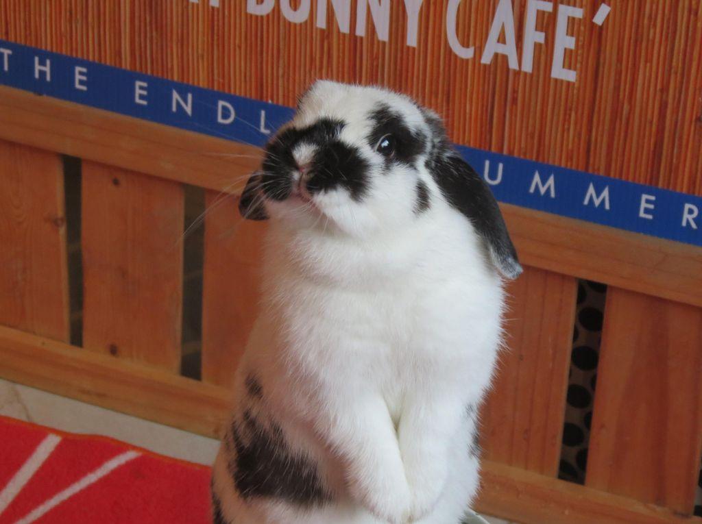 Bermain di Kafe Kelinci Satu-satunya di Thailand