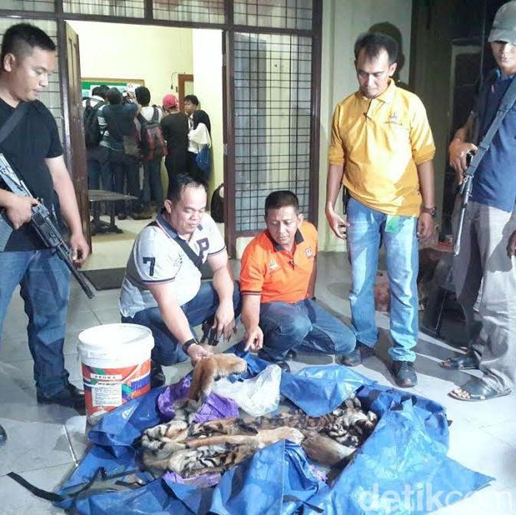 2 Orang yang Ditangkap BBKSDA Riau akan Jual Kulit Harimau Rp 60 Juta