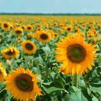 Peluang Bisnis Dari Manfaat Biji Bunga Matahari
