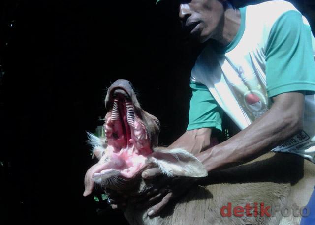 Foto Sapi Bermulut Serigala di Madura