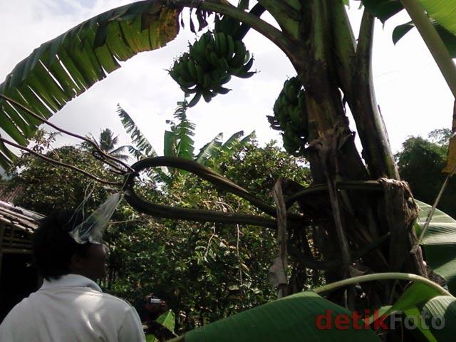 Pohon pisang aneh bertandan lima gegerkan warga magelang