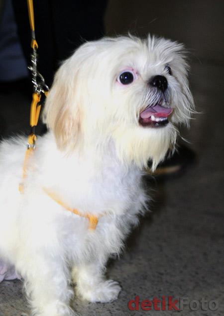 Salfa, Anjing Kesayangan Arumi Bachsin
