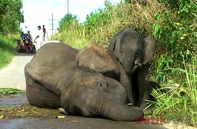 Seekor Gajah Pingsan Usai Melahirkan