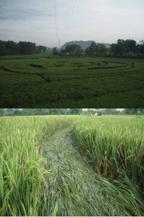 Peneliti Undip: Ada Unsur Nikel, Crop Circle Sleman Bukan Buatan Manusia