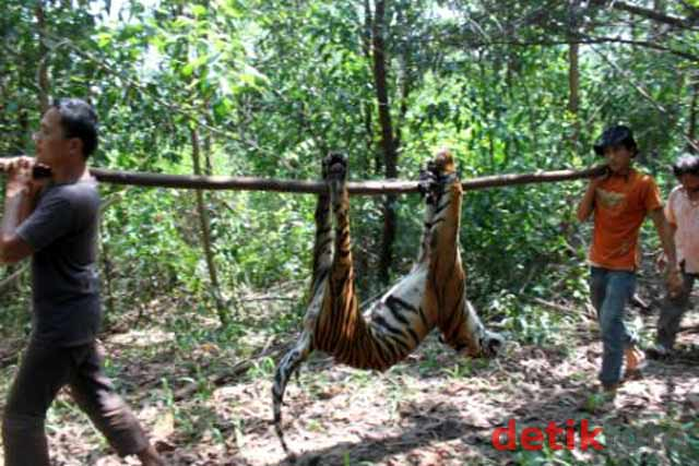 Harimau Mati Terkena Jebakan Babi