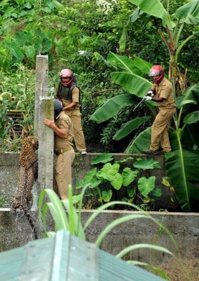 Macan Tutul Terkam Polisi Hutan
