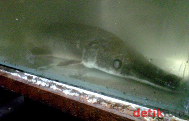 Ikan Berkepala Mirip Buaya di Mojokerto