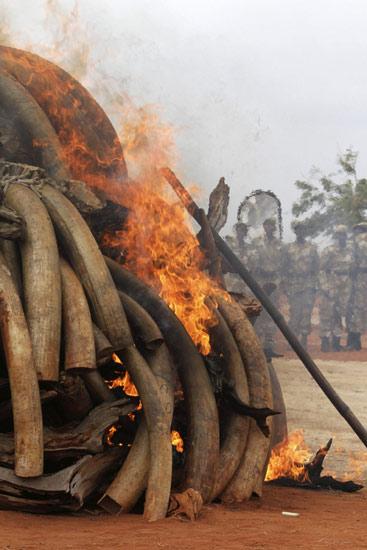 5 Ton Gading Gajah Afrika Dibakar