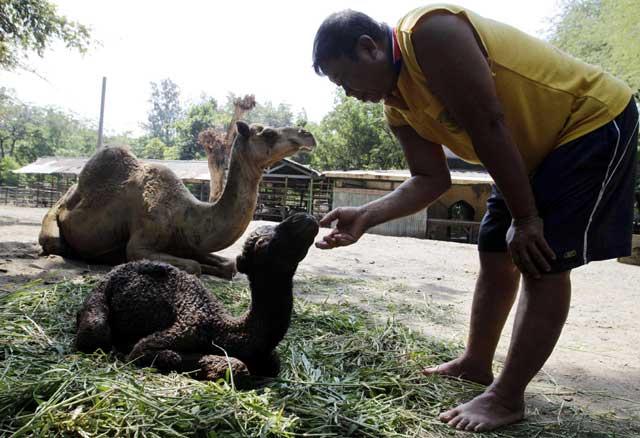 Bayi Unta Lahir di Surabaya