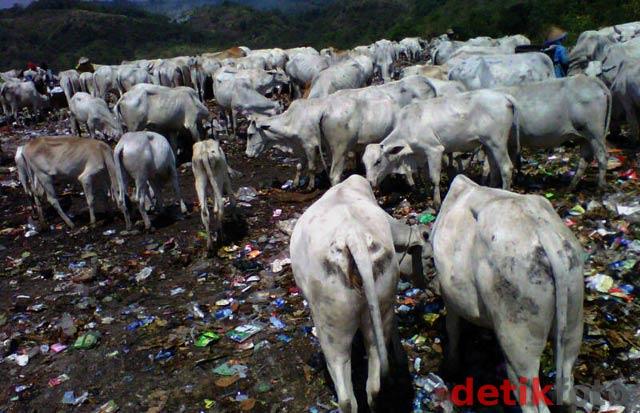 Ratusan Sapi Pemakan Sampah