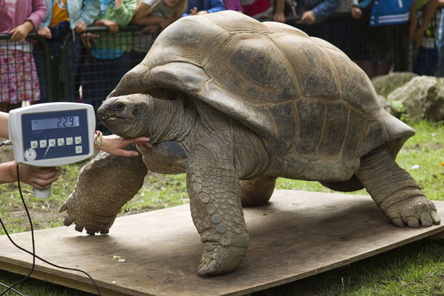 Kura-kura Raksasa Periksa Kesehatan
