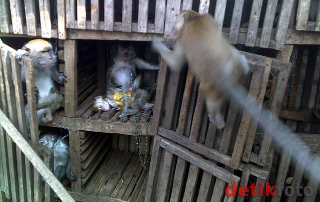 Melongok Kampung Monyet di Jatinegara