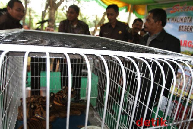 Pemberian Nama 3 Bayi Harimau Sumatera