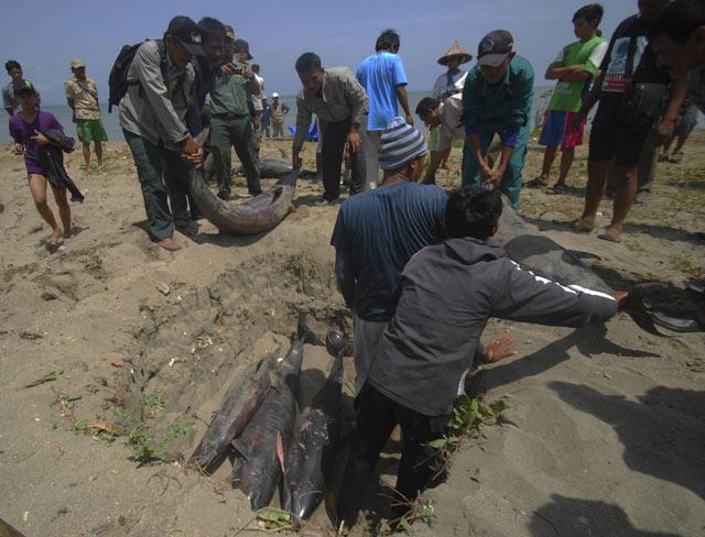 17 Lumba-lumba Mati di Ujung Kulon