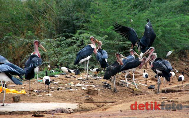 Menyaksikan Bangau Marabou di Garissa