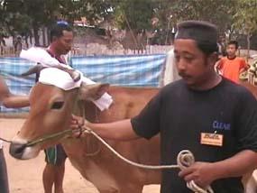 http://images.detik.com/content/2011/11/06/475/SAPI-SORBAN--D.jpg
