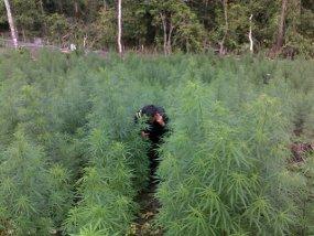 Foto Ladang Kebun Ganja Aceh 155 Hektar senilai Rp 556 Milyar