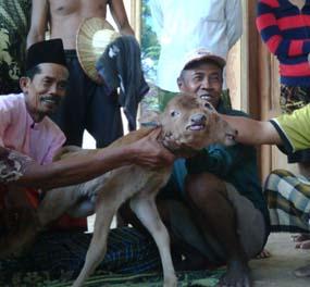 http://images.detik.com/content/2012/05/06/475/sapi-kepala-dua--D.jpg
