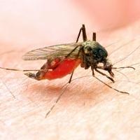 Waspada penyakit yang dibawa nyamuk saat musim pancaroba