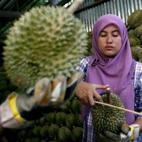 Yuk Berbisnis Kebun Durian...