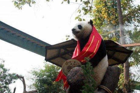 Panda Ngetop Thailand Ini Pergi ke China Untuk Mencari Cinta