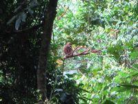 Fauna 4 Taman Nasional Gn. Palung