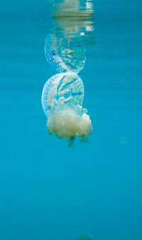 stingless jellyfish