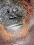 Wajah orangutan yang sangat khas. Ini Siswi, betina di Camp Leakey.