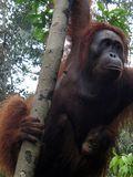 Bentuk tangan dan kaki orangutan sangat memudahkan mereka untuk memanjat pohon