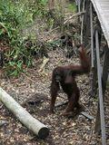 Walaupun bentuk tangan dan kakinya sama, orangutan tetap bisa berdiri