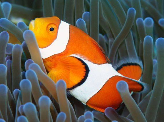 Cantiknya si Nemo. (Dok. indonesia-tourism.com)