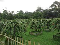Durian di Warso Farm
