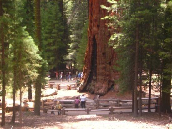 Pohon Terbesar Di Dunia Ada Di California [ www.BlogApaAja.com ]