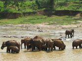Byurr! Serunya Menonton Gajah Mandi di Sri Lanka