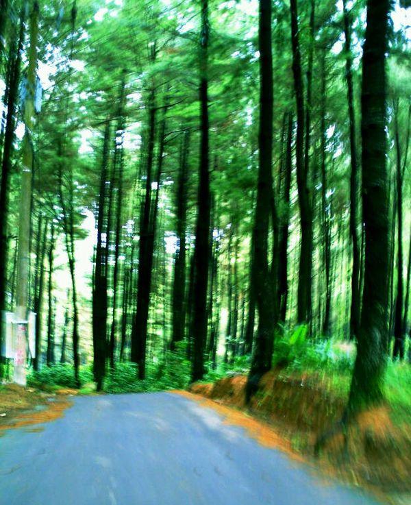 Hutan pinus di Gunung Pancar (ragamwisataindonesia.blogspot.com)