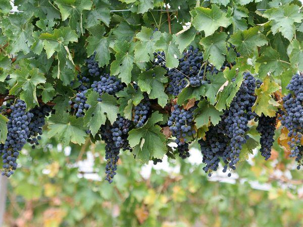 Kebun Anggur Indico (bali.panduanwisata.com)