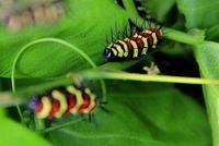 Pengunjung bisa melihat sejak kupu-kupu masih menjadi ulat (Avi/detikTravel)