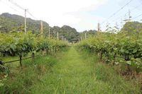 Area perkebunan anggur GranMonte dikelilingi perbukitan di ketinggian 350 mdpl.
