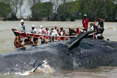 20 Lumba-lumba Mengelilingi Bangkai Paus di Pulau Kotok