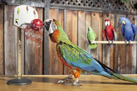 Slam Dunk Terbanyak oleh Burung Kakatua