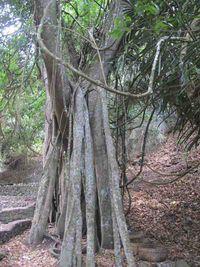 Pohon inilah yang jadi asal kata 'Trunyan'. 'Taru menyan' berarti 'pohon wangi', dinamakan begitu karena punya kemampuan menghilangkan bau bangkai pada mayat. Akarnya yang besar-besar meliuk di atas tanah, terbenam lagi persis di area 11 makam. (Sastri/ detikTravel)