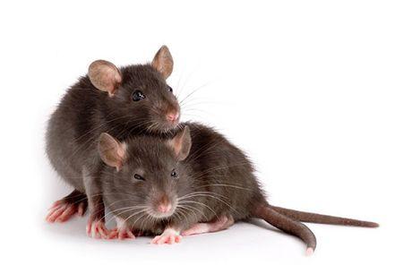 Tikus yang Setia Kawan