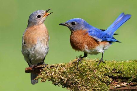Burung yang Cemburu