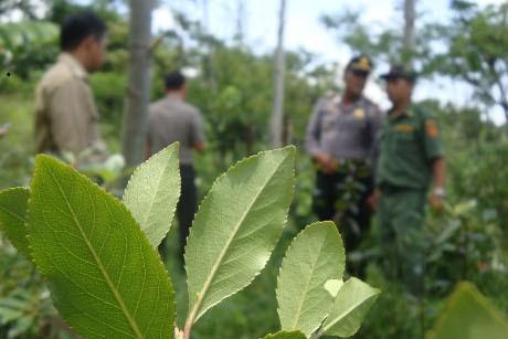 Tanaman Mirip Ghat \Chatinone\ 2 Ha di Baturaden Digaris Polisi